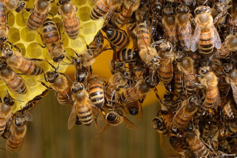catena di api ceraiole