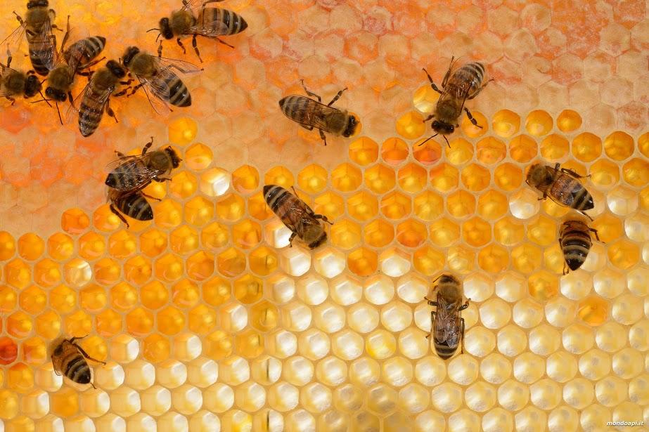 celle di un favo con api sopra