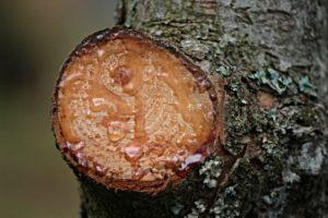 resina di un albero